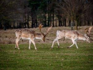 Fallow deer in Tatton Park, UK