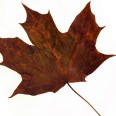 maple leaf extract