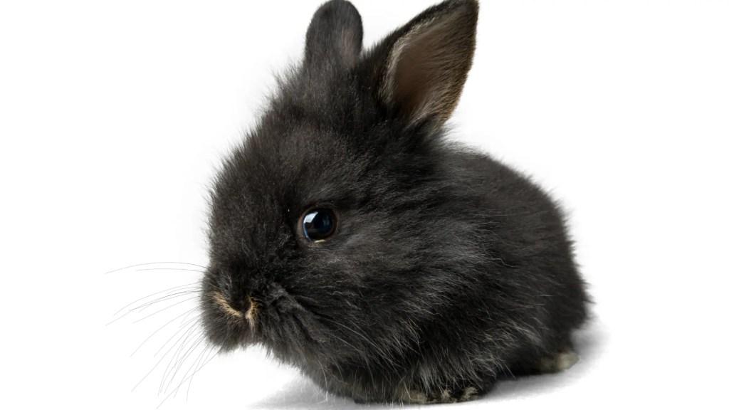fluffy black bunny