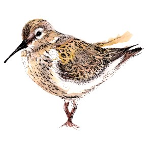Dunlin, watercolour and ink. (c)Ella Johnston. Commission for wading bird book