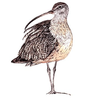 Curlew (c) Ella Johnston, watercolour and ink. Commission for Migrant Waders