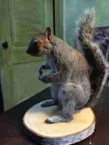 Grijze eekhoorn, taxidermie