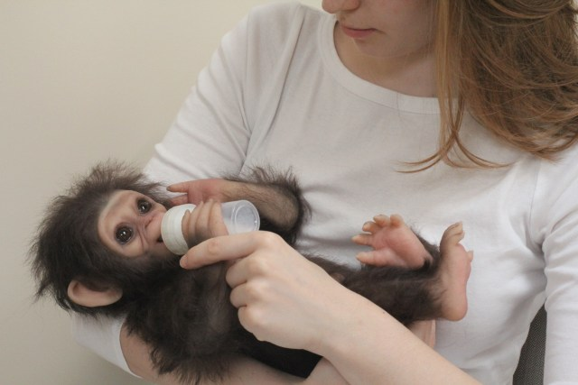Full Body Silicone Chimp monkey baby is cuddled