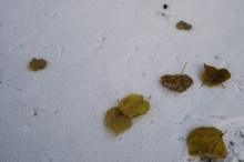 Leaves in a snow - Listy ve sněhu