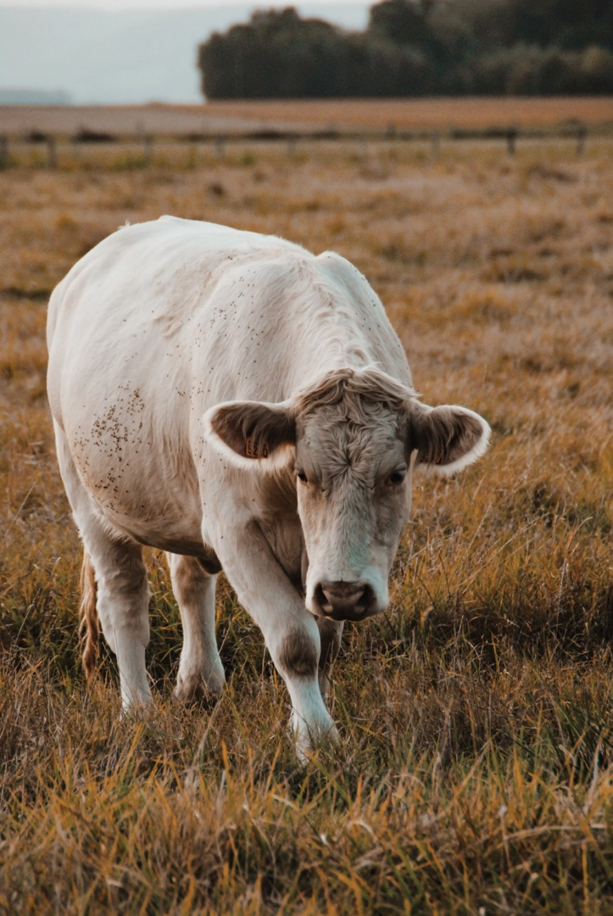 Normandy Cow