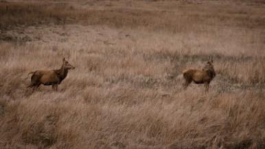 zwei Rehe im Feld