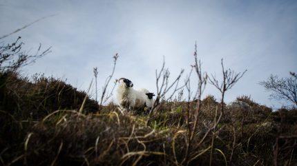 Schafsmutter und ihr Lamm