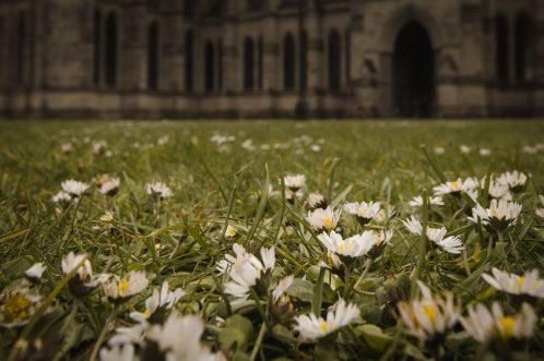 Gänseblümchen in England