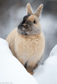 tan bunny in snow