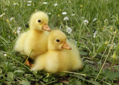 Two goose chicks goslings