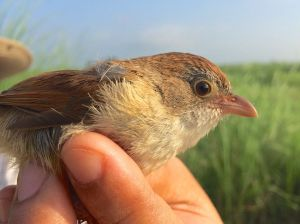 When scientists heard the call of a Myanmar Jerdon's babbler (above), they quickly recorded it and played the recording back, prompting one of the birds to come investigate.
