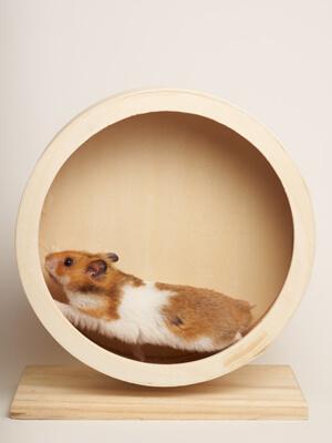 Hamster i sit hamsterhjul