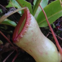 carnivor_nepenthes