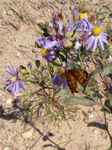 Butterfly (Fritillary) on an aster