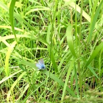 """""""Blue"""" butterfly"""