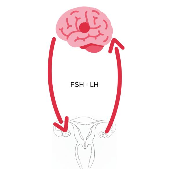 hypophyse-ovaires