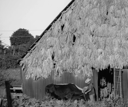 Tobacco leaves can be seen drying inside the barn
