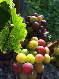 Cornalin grapes at the Bernunes winery in Sierre at the veraison, the moment when they change colour