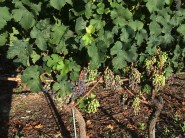 grapes red variety not clear2 veraison Bernunes Sierre_210814