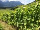 vineyards3 Yvorne_190814