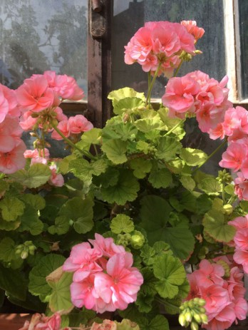 Chateau Mercier geranium: the perfume is in the leaves
