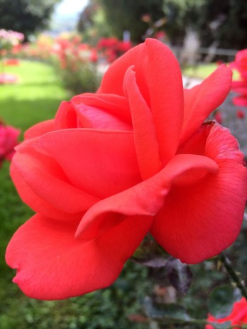 Chateau Mercier old-fashioned fragrant rose