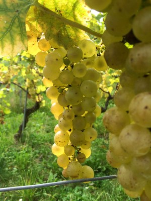 Chasselas grapes, nearly ripe, Tartegnin in canton Vaud 30 September 2014
