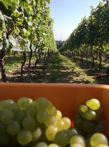 Chardonnay for Bovet's sparkling wine, harvested earlier than other varieties to ensure good acidity