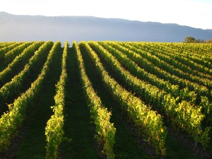 Vines in Peissy (photo, Les Perrières)