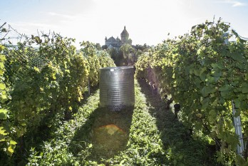Henri Cruchon winery vineyard, 2013 end of a day of grape picking, Chateau de Vufflens at the back