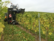 Tartegnin vines harvest machine Chasselas grapes_300914