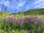 Goron de Bovernier vineyard trail wildflowers2_220516