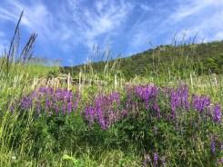 Goron de Bovernier vineyard trail wildflowers2_220516
