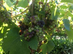 The veraison, grapes turning and starting their ripening phase