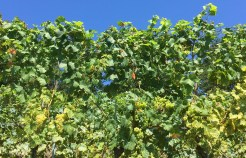 Chasselas starting to ripen, Perroy, Vaud 29 August