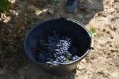 Domaine Charvin, a top organic wine producer near Orange, France: 20 September 2016, the grape harvest