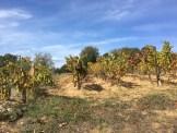 Sardinia Oliena vines soil_191016