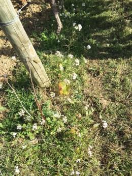 vineyard plants wild mustard Pertacaia_261017