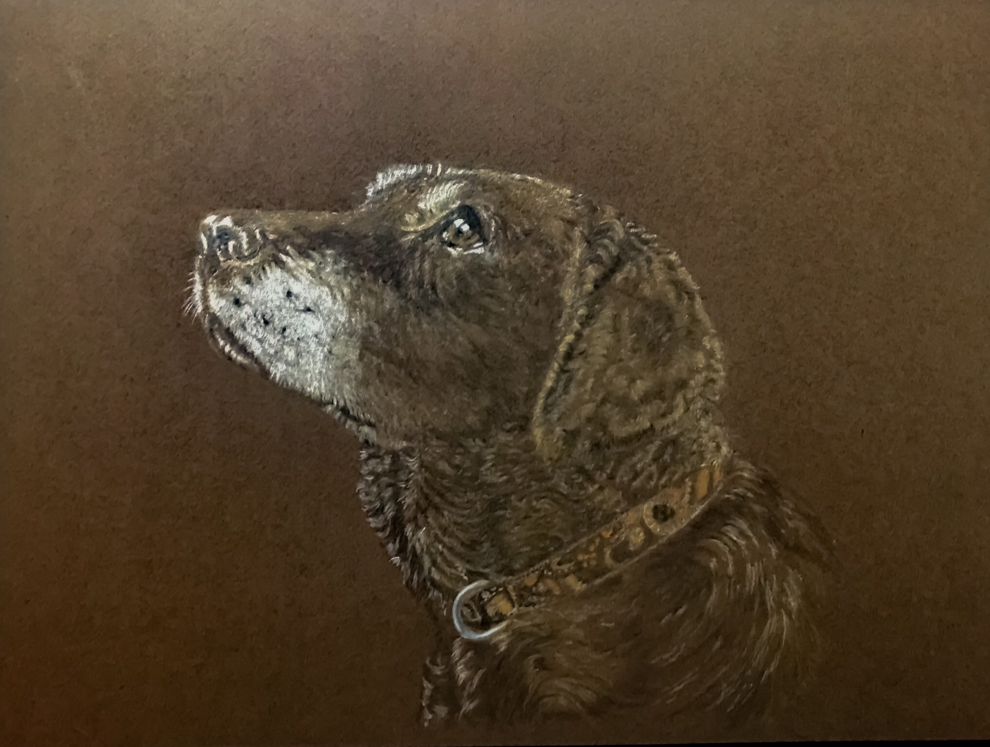 Coloured Pencil Labrador