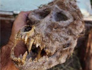 Αγρότης ανακάλυψε κρανίο λυκανθρώπου σε σφραγισμένο κουτί.