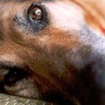 Καταρρίπτεται – Εξαρθρώθηκε μεγάλο κύκλωμα διακίνησης αδέσποτων σκύλων, που τα μετέφεραν στη Γερμανία για κτηνοβασίες.