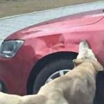 Καταρρίπτεται – Οδηγός κλώτσησε σκύλο για να παρκάρει- Εκείνος έφερε την… παρέα του και του κατέστρεψαν το αμάξι