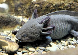 800px-Axolotl_Uni_Konstanz