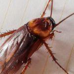Μεταλλαγμένο γάλα κατσαρίδας για τα πεινασμένα πλήθη;