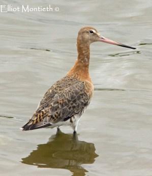 Black-tailed Godwit (Limosa limosa) - RSPB Burton Mere Wetlands
