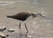 Green Sandpiper (Tringa ochropus) - RSPB Burton Mere Wetlands