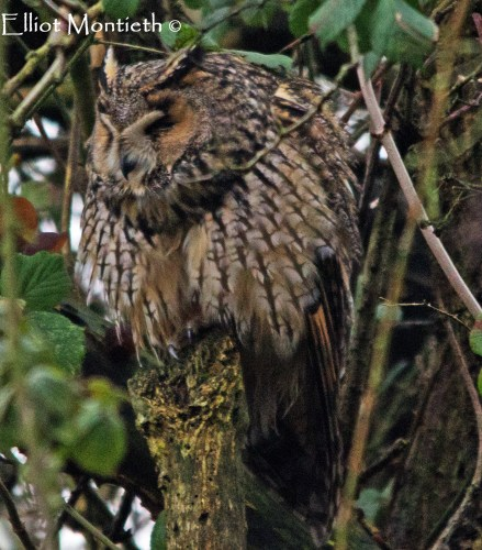 Long-eared Owl (Asio otus) - RSPB Burton Mere Wetlands