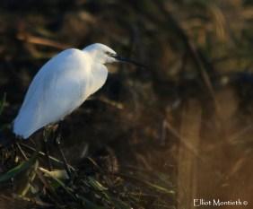 Little Egret (Egretta garzetta) - RSPB Burton Mere Wetlands