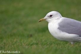 Common Gull (Larus canus) - New Brighton