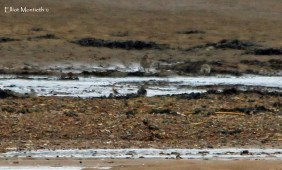 Great Knot, Scolt Head Island, Norfolk